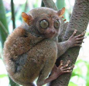 tarsier in bohol sanctuary