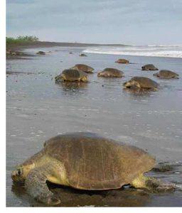 arribadas turtles