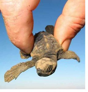 fingers hold baby turtle