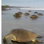 Turtle Trekking – In Search Of Costa Rica's Arribadas