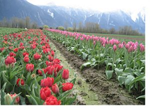 Tulip field, Fraser Valley, BC