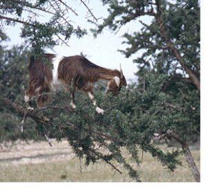 Tioute goats