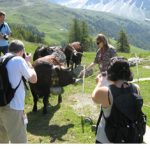 Hérens Cattle of the Swiss Alps fight with Udders – and that's no bull