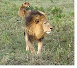 lion on safari in Kenya