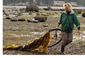kelp on sooke beach