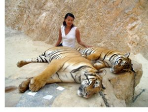 The author sits with tigers in Kanchanaburi