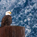 5,000 Eagles Gather In Southern BC